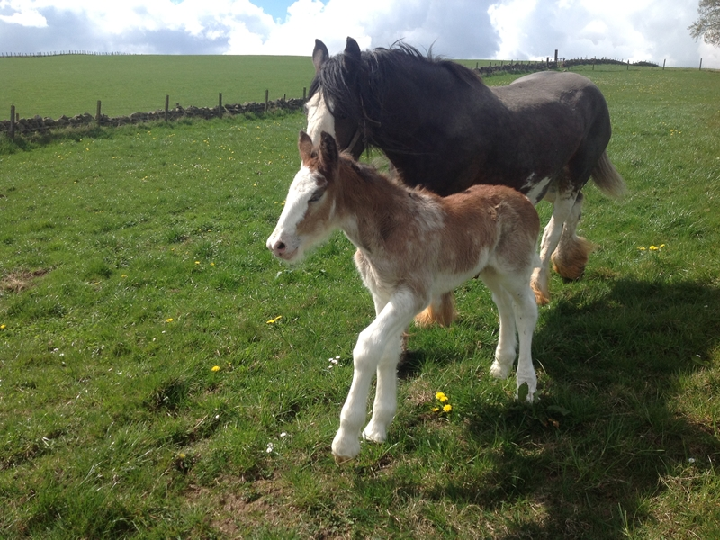 Lanark, Biggar and Peebles Foal Show