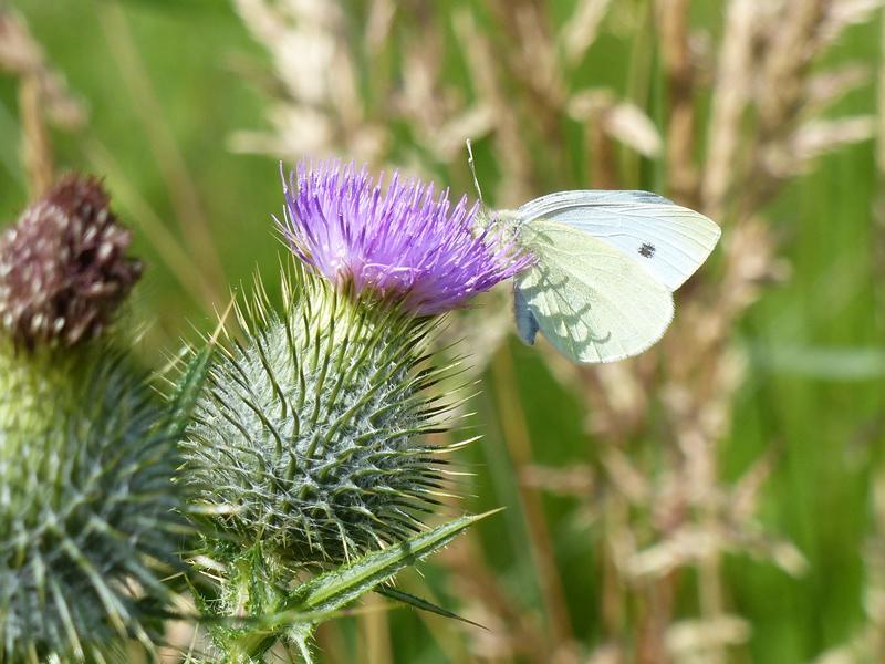 Butterflies of RSPB Loch Lomond