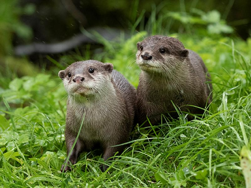 Edinburgh Zoo welcomes curious new otter pair