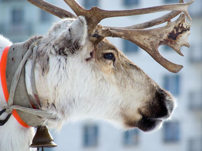 Santa's Reindeer Visit