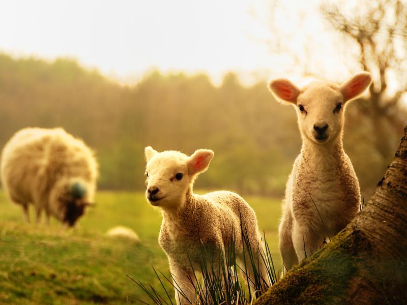 Lambing on Loch Lomond