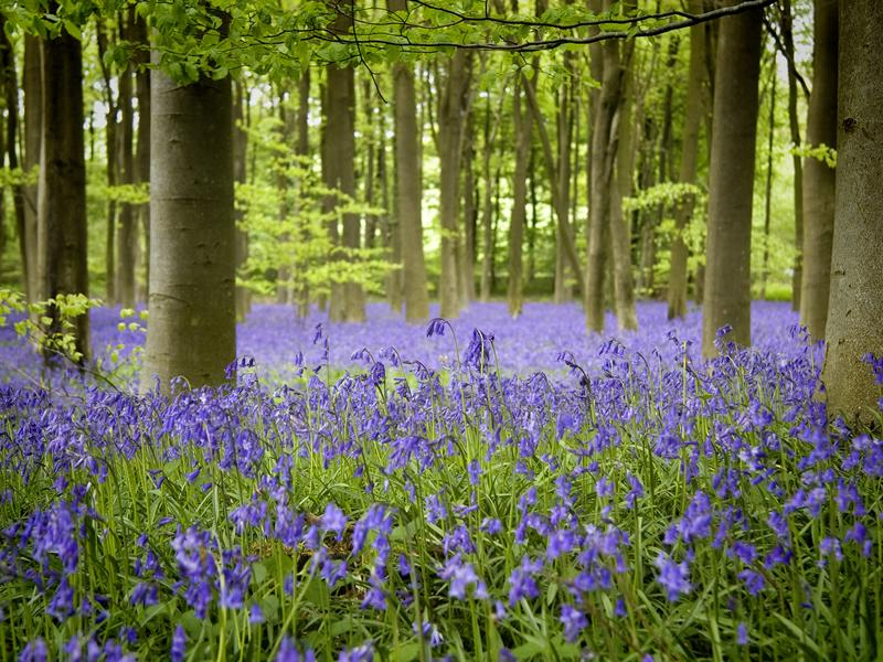 Bluebells and Birdsong