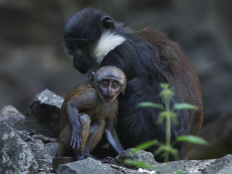 LHoests monkey baby born at Edinburgh Zoo