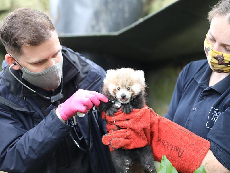 Adorable red panda kit named at Edinburgh Zoo