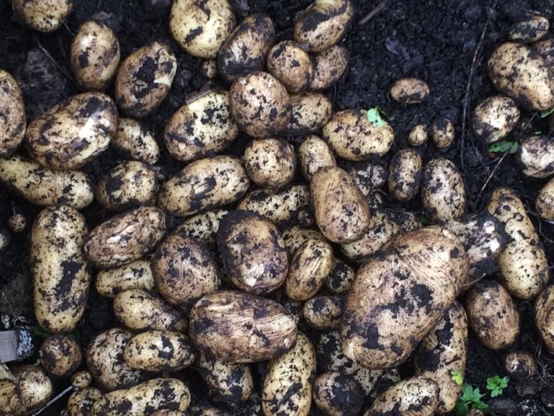 Glasgow Potato Day