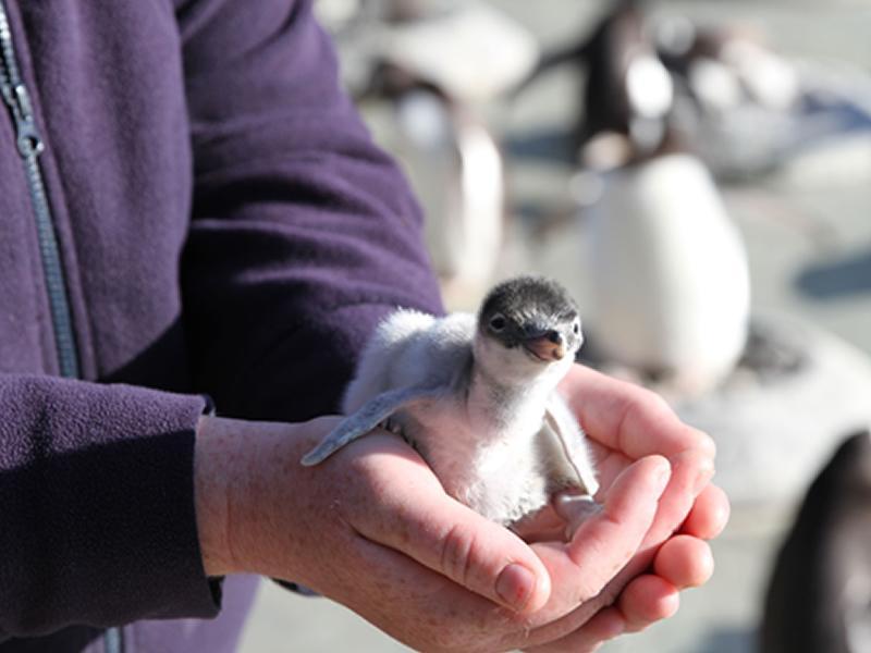 Gentoo penguin chicks hatch at Edinburgh Zoo