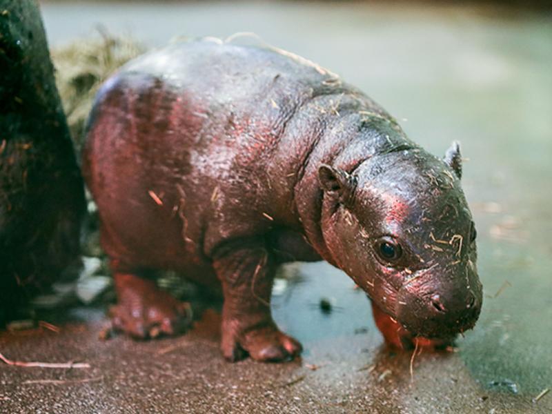 Edinburgh Zoo welcomes tiny Endangered Pygmy hippo calf