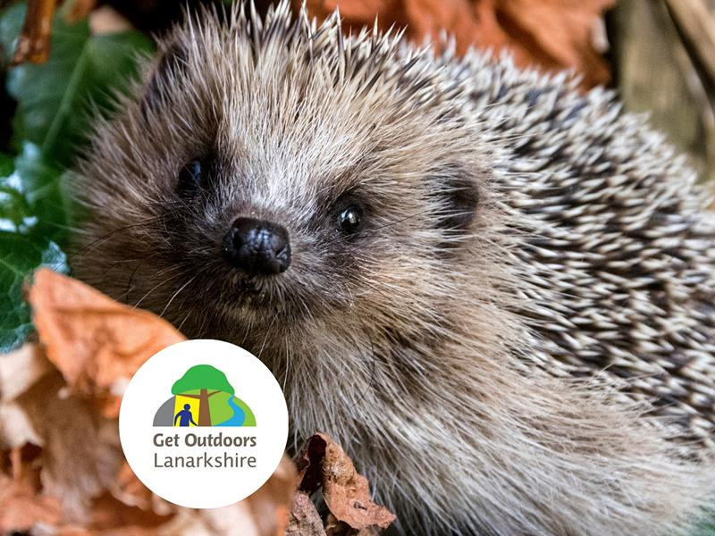 Hedgehog Ecology, Care and Volunteering For HogWatch Scotland