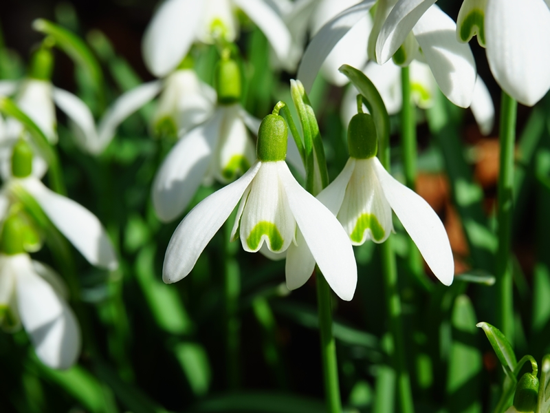 Snowdrop and Early Bulb Display and Lectures