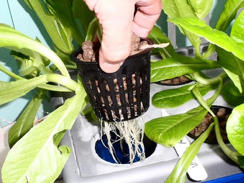 Vegetable Growing Hydroponics via Zoom