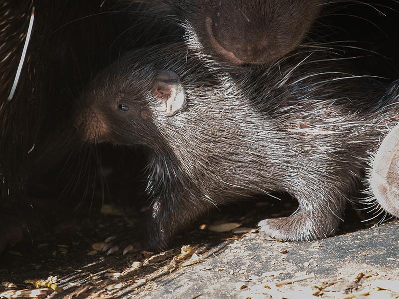 Porcupette born at Edinburgh Zoo is the only one in Scotland