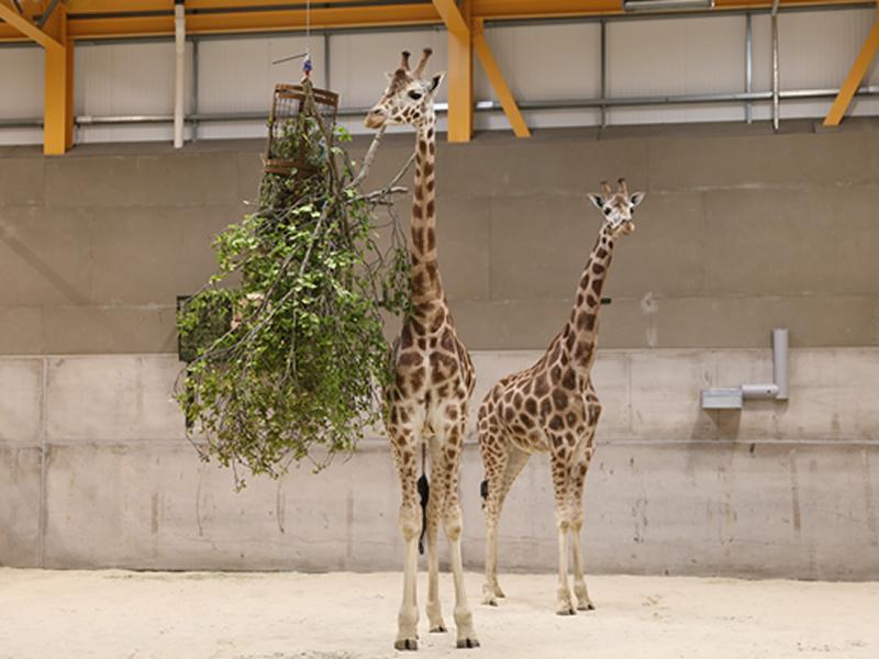 Giraffes return to Edinburgh Zoo after over 15 years