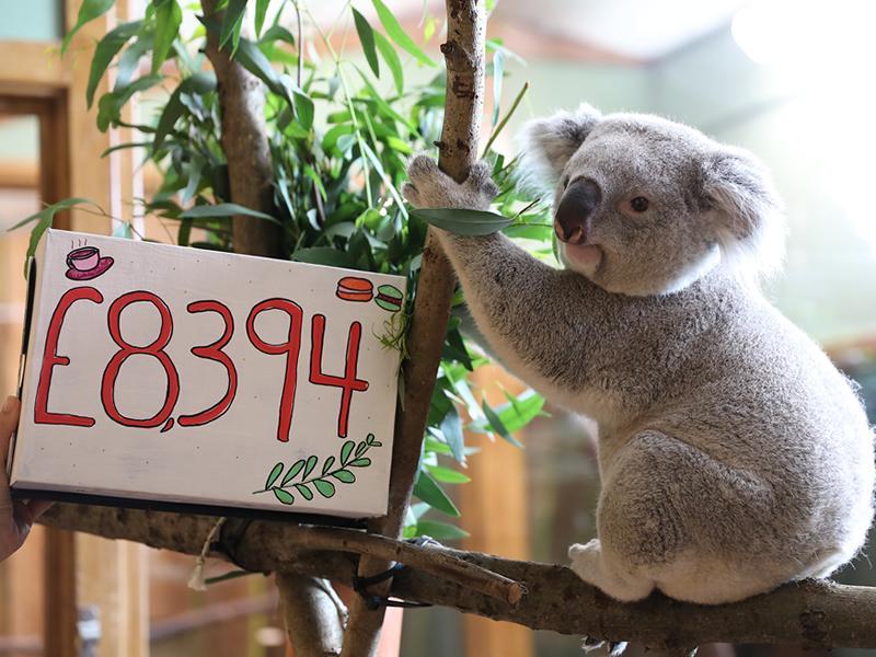 Koala tea donation for Edinburgh Zoo