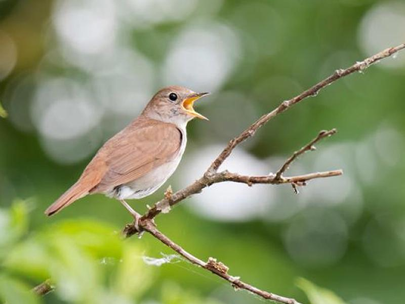 Digital Event: Family Special Event - Nightingale Choir